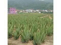 供应库拉索芦荟种苗绿植盆栽