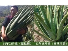 供应库拉索芦荟美容院灌肤可食用老芦荟
